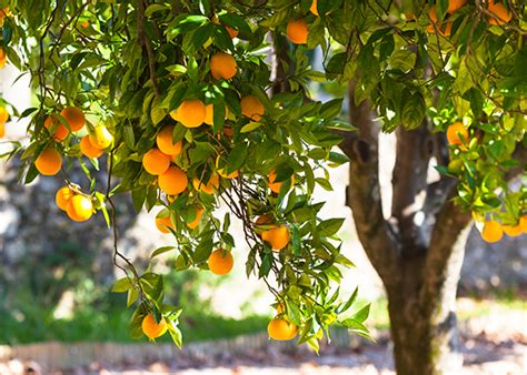 fruits  fresh flavor garden club