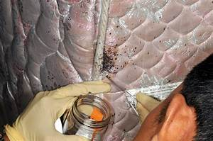 bed bugs informational guide to bed bugs purdue With bed bugs inside mattress