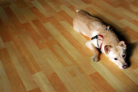 cork flooring and pets urine how to clean urine stains on wood floors daily puppy
