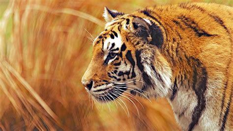 Photography Tiger Animals Big Cats Wallpapers Hd