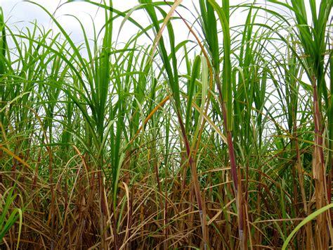 About That Sugar Cane   beyondgumbo