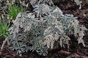 Winterharte Kübelpflanzen Schattig : pieris japonica balkonpflanzen pflege ~ Michelbontemps.com Haus und Dekorationen