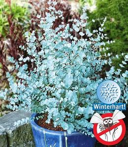 Winterharte Pflanzen Liste : winterharter eukalyptus 39 azura 39 immergr ne str ucher ~ Michelbontemps.com Haus und Dekorationen