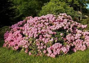 Rhododendron Blüten Schneiden : rhododendron schneiden anleitung zum r ckschnitt total ~ A.2002-acura-tl-radio.info Haus und Dekorationen