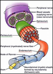 What Are The Differences Between A Neuron  A Nerve Fibre