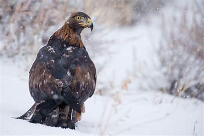 Eagle Golden Eagles Paothong Photograph National Noppadol