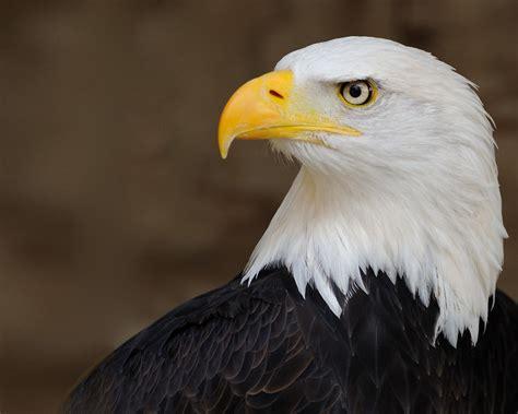 beautiful background eagle head white yellow beak dark