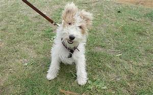 Wire-Haired Fox Terrier - a photo on Flickriver