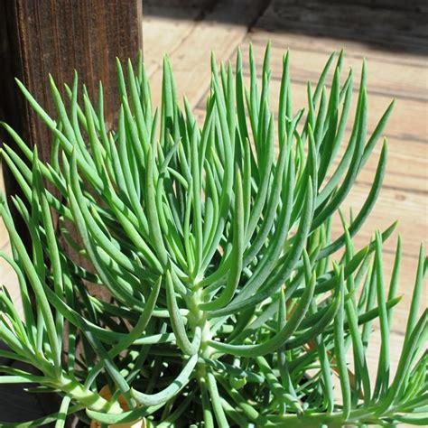 senecio succulent senecio cylindricus vitalis talinoides boething treeland farms