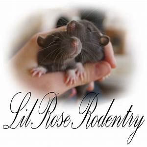 Lil Rose Rodentry - Rat Breeder, Mouse Breeder - Adelaide ...