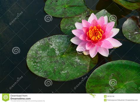 lotus garden thai 58 photos thai lotus background royalty free stock image image