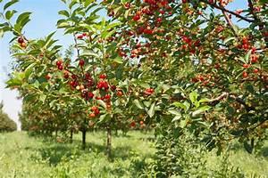 Quand Planter Lavande Dans Jardin : quand planter un cerisier ~ Dode.kayakingforconservation.com Idées de Décoration