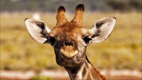 pack de fotos de jirafas en hd  descargar gratis