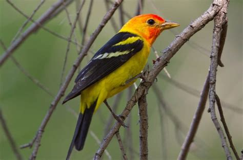 image gallery western tanager