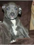 cachorros-pit-bull-blue-nose-american-pitbull-terrier-hwo-mlm      Bull Terrier Blue Nose Pitbull Mix