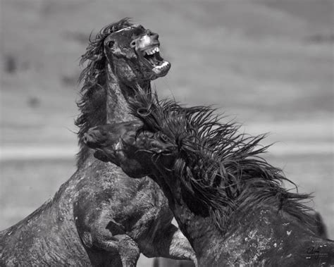 fighting wild horses west desert herd utah stallion onaqui mustangs horse fight stallions utahwildhorses fierce photographs