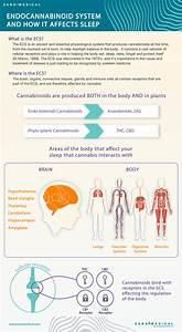 Infographic  The Endocannabinoid System U0026 39 S Effect On Sleep