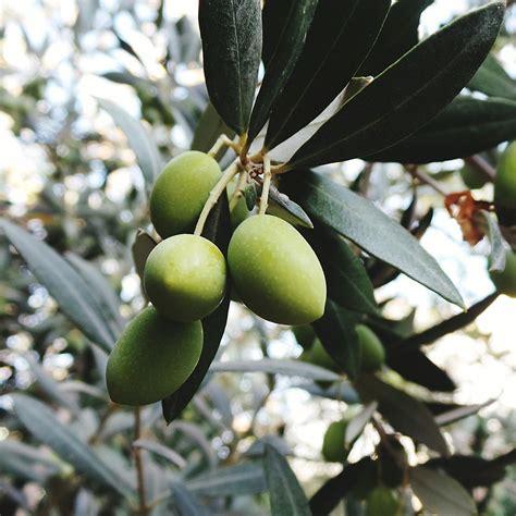 oliven fruechte des oelbaums die techniker