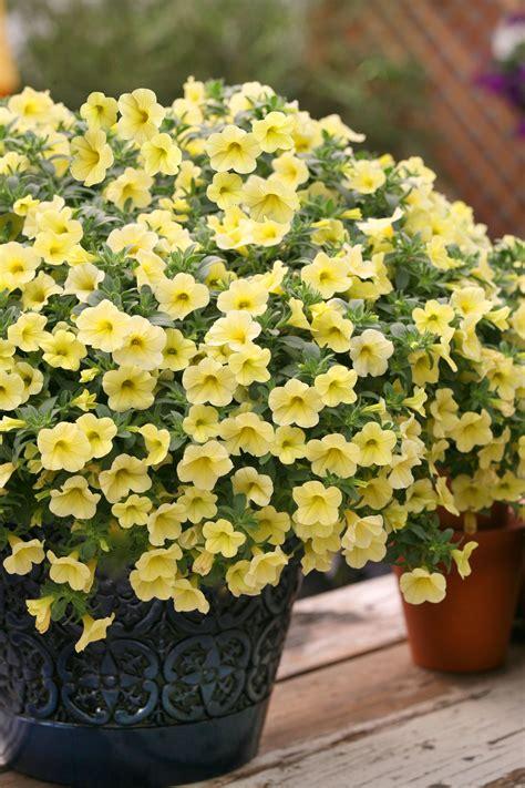 million bells     popular plants