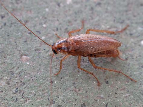 cockroaches cockroaches identification wwwe bedbugscom