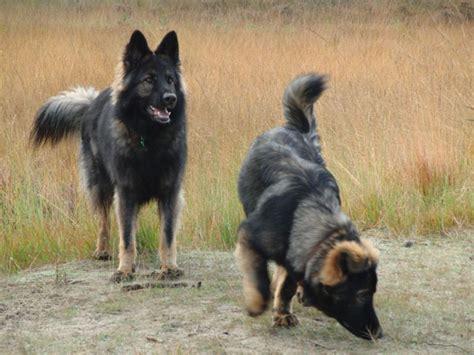 Filetwo Old  Ee  German Ee    Ee  Shepherd Ee   Dogs Jpg Wikimedia Commons