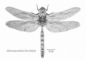 17 Best Images About Dragon Fly On Pinterest