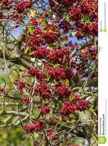 Baum Mit Roten Beeren : rote beeren auf baum stockfoto image 47124447 ~ Markanthonyermac.com Haus und Dekorationen