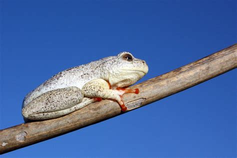 Marbled reed frog - Wikipedia