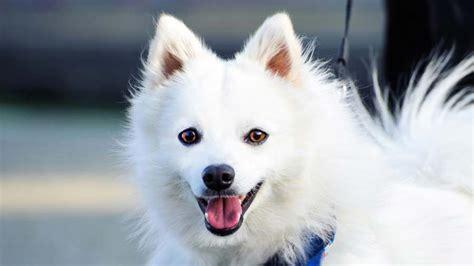 spitz japanese dog face breeds names characteristics info muzzle facts dogbreedslist span temperament