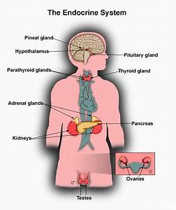 Hypopituitary  U2013 Day By Day With My Adrenals