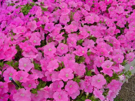 easy wave petunias easy wave petunia cultivars photo gallery