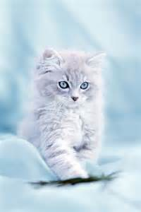 Cute Baby White Kittens with Blue Eyes