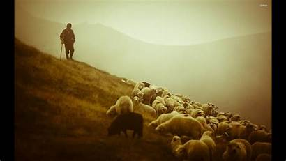 Shepherd Sheep Desktop Wallpapers Sheeps Many Leading