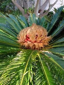 Sago Palms