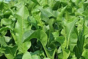Was Kann Man Im August Noch Pflanzen : meerrettich pflanzen so wird 39 s gemacht ~ Lizthompson.info Haus und Dekorationen