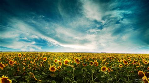 sunflowers landscape wallpapers hd wallpapers id