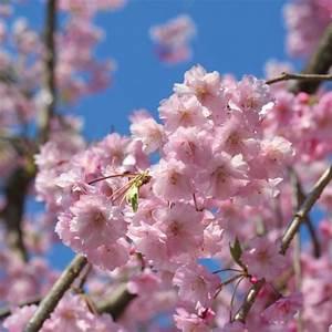 Planter Un Cerisier : cerisier fleurs pleureur plantes et jardins ~ Melissatoandfro.com Idées de Décoration