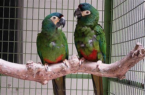 mini macaw meet the mini macaws petcha