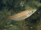 Ray-finned Fish - Actinopterygii