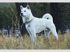 Kishu Ken Dog Breed Information American Kennel Club