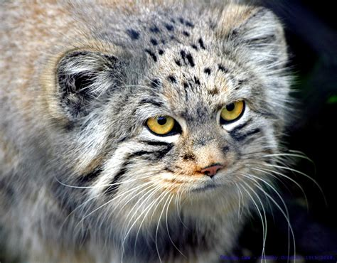 The Creature Feature: 10 Fun Facts About the Pallas Cat