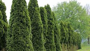 Thuja Smaragd Düngen : thuja occidentalis 39 smaragd 39 treeebb online tree ~ Michelbontemps.com Haus und Dekorationen