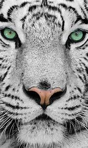 Wild White Tiger Tattoo - Tattoo Designs & Ideas Gallery