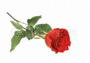 Beautiful red rose with water drops closeup isolated on ...