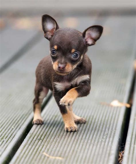 teacup chihuahua pros  cons   worlds tiniest dogs