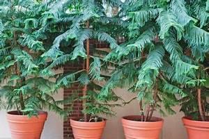 Gummibaum Lässt Blätter Hängen : zimmertanne l sst die zweige h ngen woran liegt 39 s ~ Bigdaddyawards.com Haus und Dekorationen