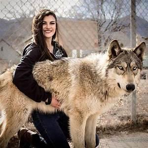 Wolf-Dog Hybrids (25 pics)