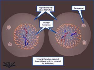 Vcac  Cellular Processes  Meiosis  Advanced Look  Meiosis Ii