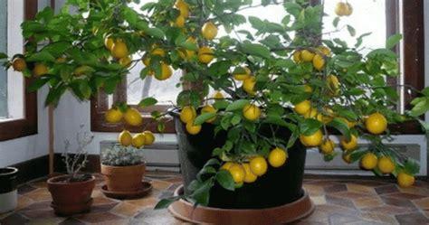 faites pousser un citronnier 224 partir de graines