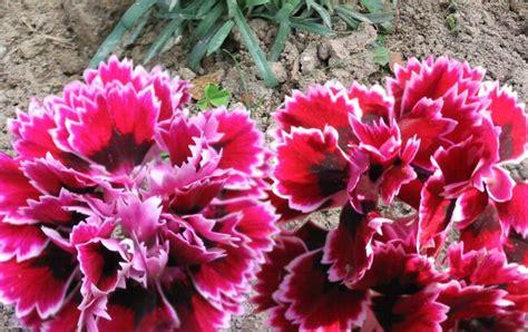 fiori garofano significato garofano nel linguaggio dei fiori